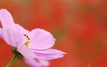 Pink Cosmos Flower Mac wallpaper
