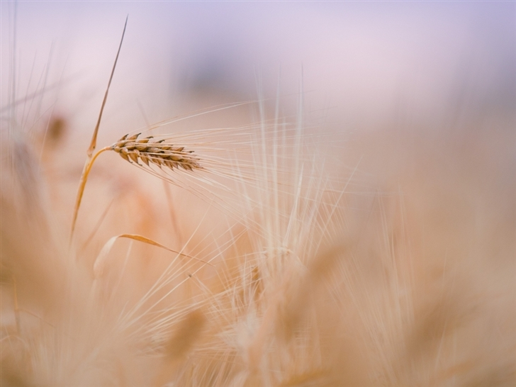 Wheat Spike Summer Mac Wallpaper