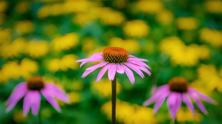 Pink Coneflower Mac Wallpaper