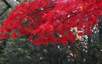 Red Acer Tree Mac wallpaper