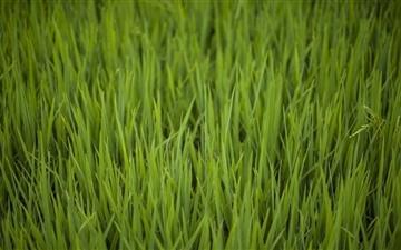 Rice Fields Mac wallpaper