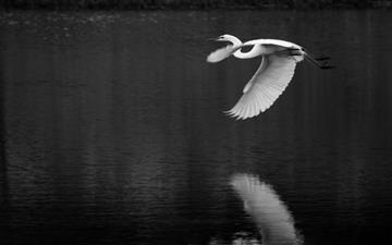 Crane Bird Flying  Mac wallpaper