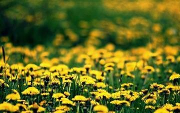 Dandelions Field Mac wallpaper
