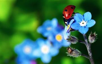 Ladybird Beetle Mac wallpaper