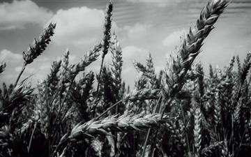 Grain Field Mac wallpaper