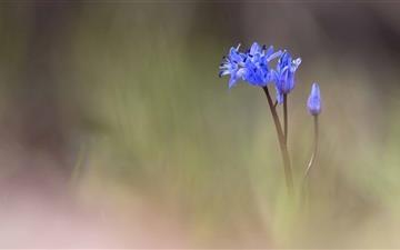 Spring Blue Flower Mac wallpaper