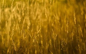 Gold Grass Mac wallpaper