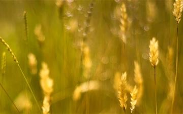 Golden Grass Seeds Mac wallpaper