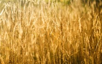 Golden Grass Mac wallpaper