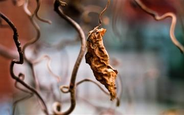 Dried Vine Leaf Mac wallpaper
