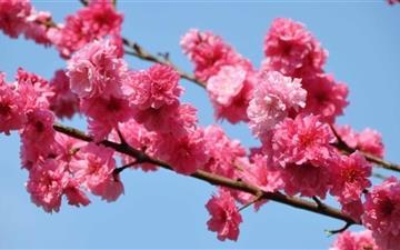 Peach Tree In Bloom Tokyo Mac wallpaper