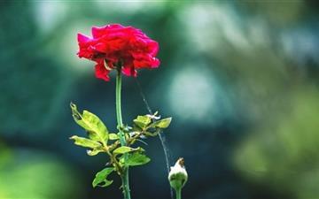 Red Rose Mac wallpaper