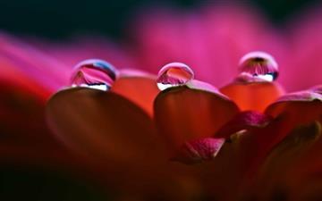 Dew On Petals Mac wallpaper