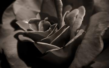 Black Rose Macro Mac wallpaper