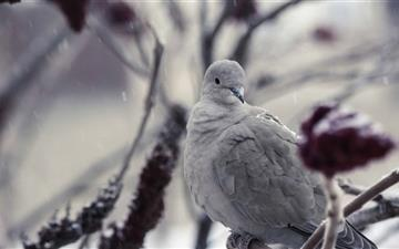 Collared Dove Mac wallpaper