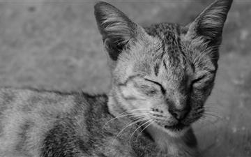 Sleepy Cat Mac wallpaper