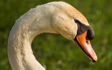 A Beautiful Swans Head Mac wallpaper