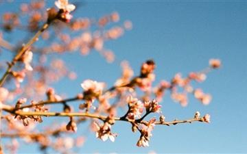 Almond Blossoms Mac wallpaper