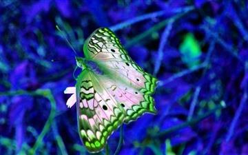 Blue And Green Butterfly Mac wallpaper
