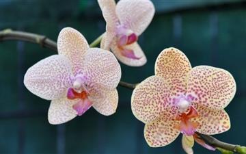 Three Orchids Mac wallpaper