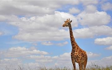 Giraffe In Nairobi Park Mac wallpaper