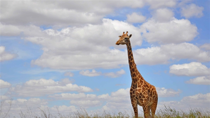 Giraffe In Nairobi Park Mac Wallpaper