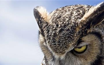 Great Horned Owl Sullen Mac wallpaper