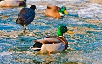 Ducks On Frozen Water Mac wallpaper