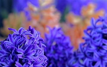 The Hyacinths  Mac wallpaper