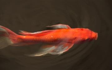 Koi Fish Mac wallpaper