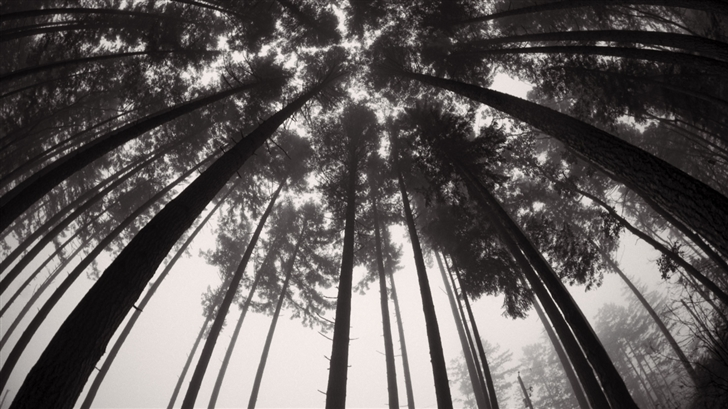 Forets Trees Black And White Mac Wallpaper