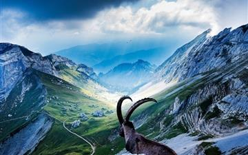 Goat At Mount Pilatus All Mac wallpaper