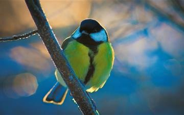 Great Tit All Mac wallpaper