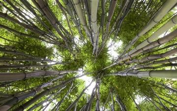 Looking Up In A Bamboo Forest All Mac wallpaper