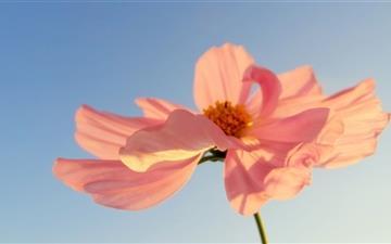 Pink Petals In Sunlight Mac wallpaper