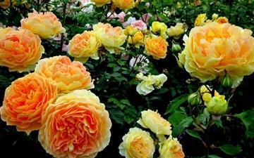 Roses Garden Mac wallpaper