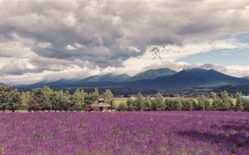 Lavender Field Mac wallpaper
