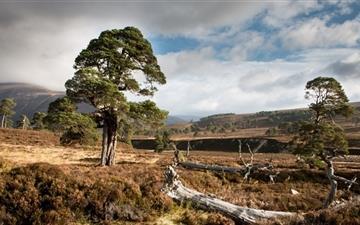 Scots Pine Mac wallpaper