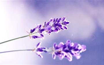 Two Lavender Flowers Mac wallpaper