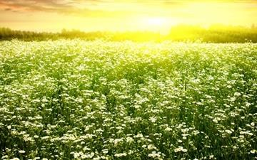 Daisies Field Mac wallpaper
