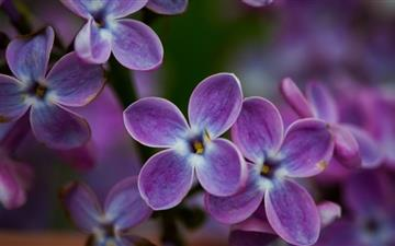 Lilac Blossoms Mac wallpaper