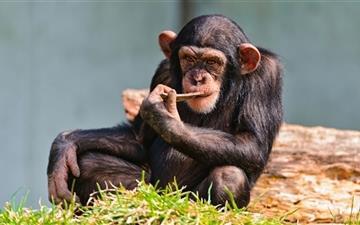 Thinking Chimp Mac wallpaper