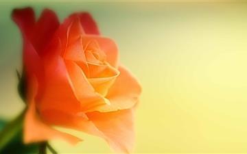 Dreamy Rose Mac wallpaper
