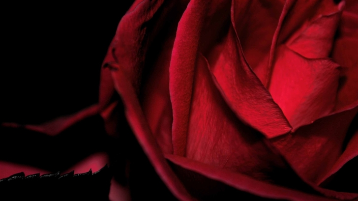 Scarlet Rose Macro Mac Wallpaper