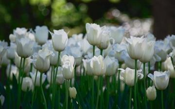 White Tulips Mac wallpaper