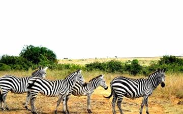 Zebras Lined Up Mac wallpaper
