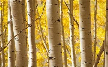 Birch Trees Mac wallpaper