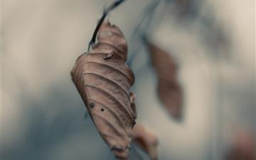 Dried Leaf Macro Mac wallpaper