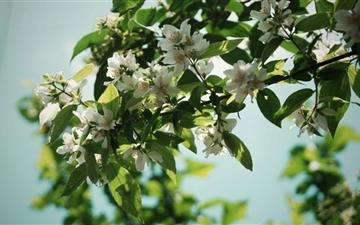 Jasmine Flowers Mac wallpaper