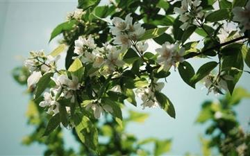 Jasmine Flowers Mac wallpaper